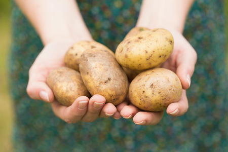 home grown: Hands holding some home grown organic potatoes Stock Photo