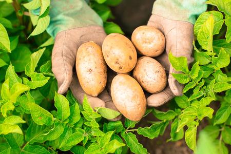 gardening gloves: Hands presenting organic fresh potatoes wearing gardening gloves