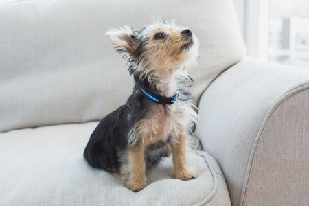 Yorkshire Terrier: Yorkshire terrier sitting on the couch at home in the living room