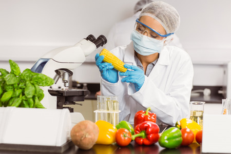 genetic food modification: Food scientist looking at corn cob at the university