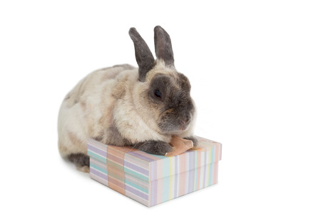 celebratory event: Fluffy bunny with gift box over white background