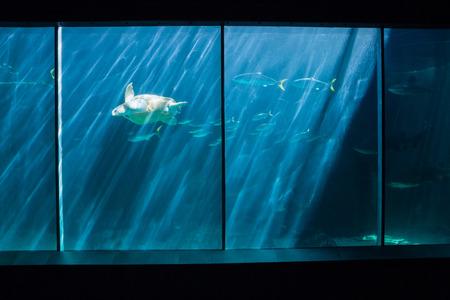 fishtank: Turtle swimming in fish tank at the aquarium