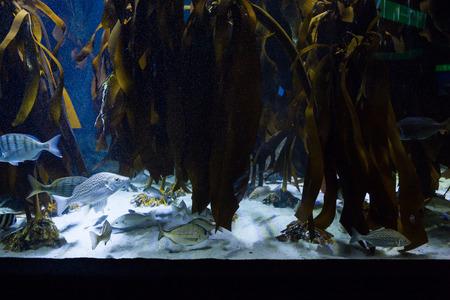 fishtank: Seaweed in fish tank at the aquarium Stock Photo