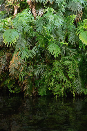 wilds: Green ferns in tropical forest hanging over water Stock Photo