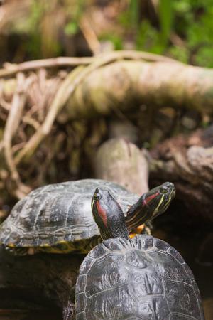 terrapin: Two terrapin turtles in nature