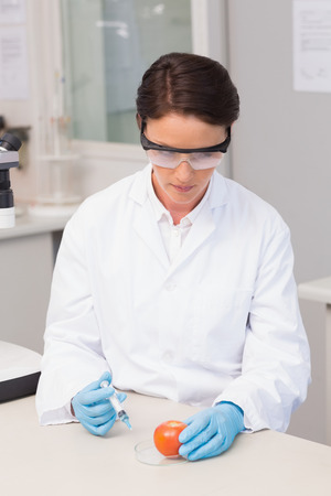 attentively: Scientist working attentively with tomato in laboratory