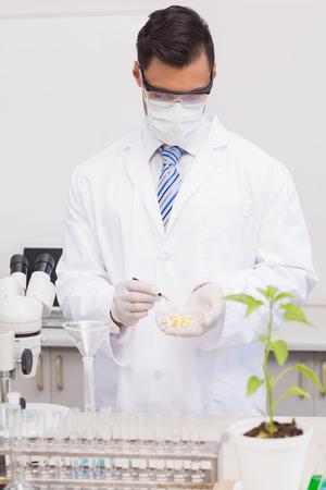 petri dish: Scientist examining corn in petri dish in the laboratory Stock Photo