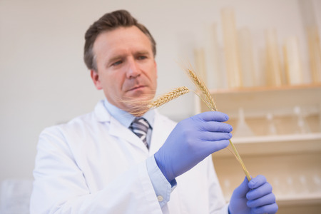 sheaf: Scientist examining sheaf in the laboratory Stock Photo