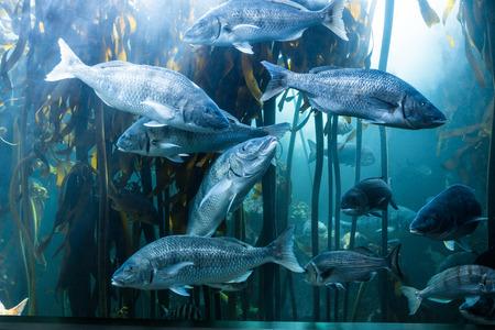 fishtank: Big fish swimming in a illuminate tank with algae at the aquarium