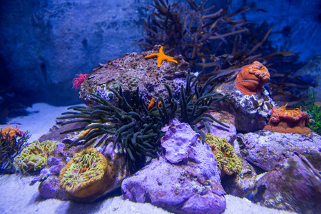 sea anemone: A starfish in a tank with stones and sea anemone Stock Photo