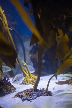 fishtank: Fish hiding into yellow algae at the aquarium