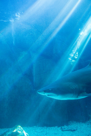 seclusion: Shark swimming alone in a tank at the aquarium Stock Photo