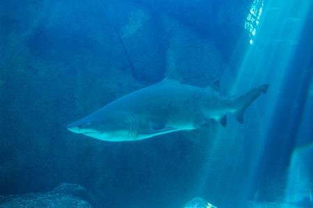 lonesomeness: Shark swimming in an aquarium at the aquarium Stock Photo
