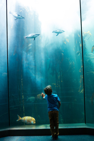 fishtank: Young man looking at penguins in a tank at the aquarium