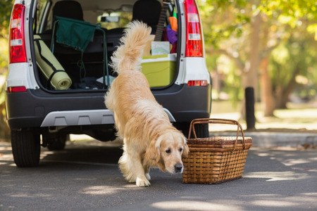 domestic car: Domestic dog going out of the car trunk