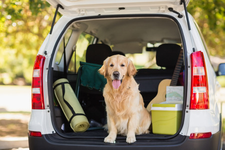 Domestic dog sitting in the car trunk