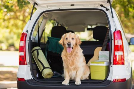 botas: Perro dom�stico sentado en el maletero del coche Foto de archivo