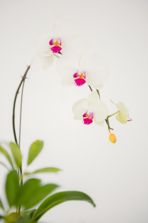 greenness: A delicate stem of pink flower on a white background Stock Photo