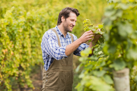 seasonal worker: Smiling winegrower harvesting the grapes in a vineyard