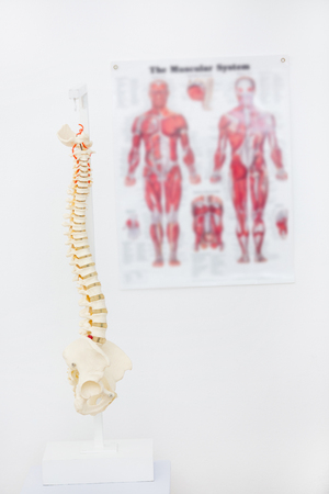 anatomical model: Composite image of anatomical spine in clinic