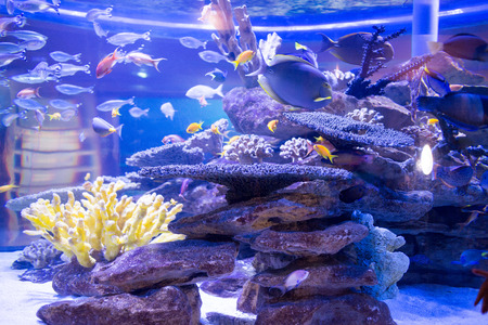fishtank: Fish swimming in a tank with corals and stones at the aquarium