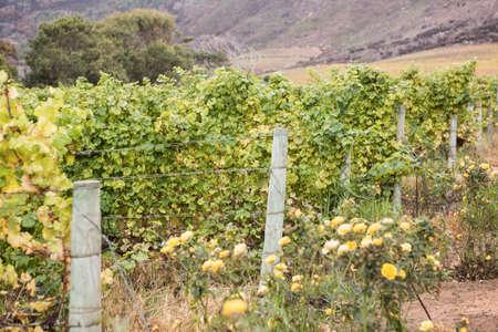 greenness: Beautiful landscape of a greenness wineyard