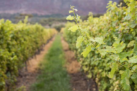 greenness: Image of a greenness path of grape field LANG_EVOIMAGES