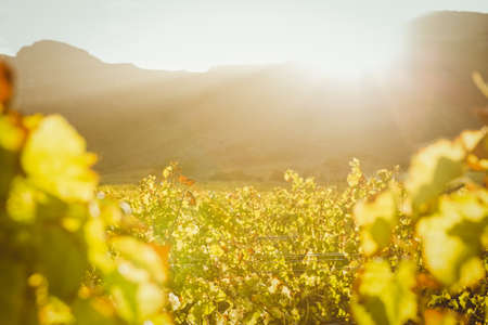 sauternes: Vineyard on a sunset in a valley