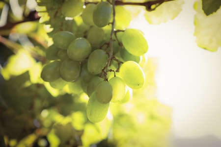 grape field: Bunch of grapes hanging on grapevine in the grape field