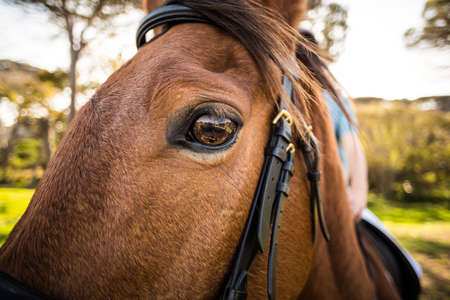 reigns: Thorough bred horse looking at camera in the countryside LANG_EVOIMAGES