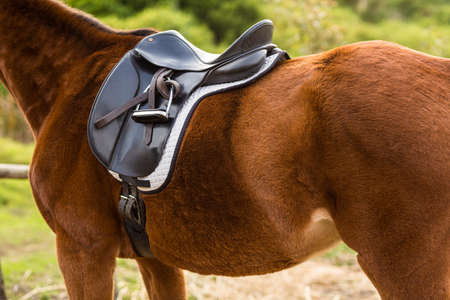 bred: Thorough bred horse in the countryside