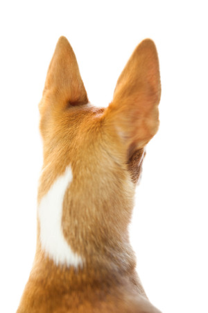 pointy: Cute dog with pointy ears on white background