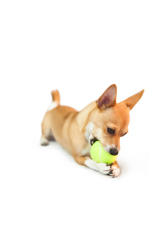 white playful: Cute little dog chewing on ball on white background