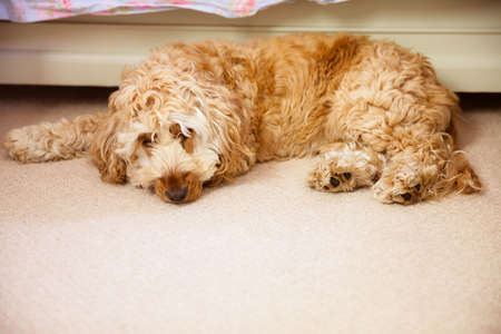 domicile: Dog laying on the floor at home LANG_EVOIMAGES