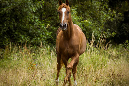 paddock: Thorough bred horse cantering in the paddock in the countryside LANG_EVOIMAGES