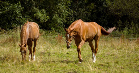 munching: Horses eating grass in field in the countryside LANG_EVOIMAGES