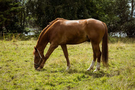 thorough: Horse eating grass in field in the countryside