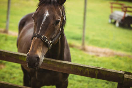 thorough: Thorough breed horse looking at camera in the countryside