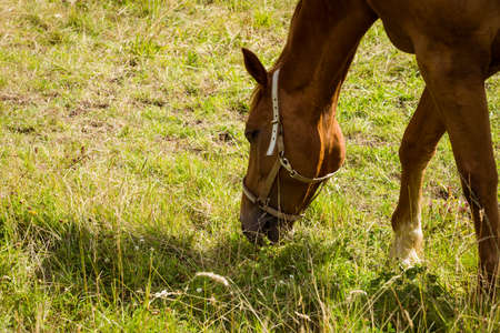 munching: Horse eating grass in field in the countryside