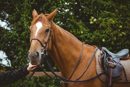 reigns: Thorough breed horse looking at camera in the countryside