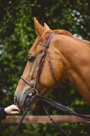 reigns: Side view of thorough breed horse in the countryside