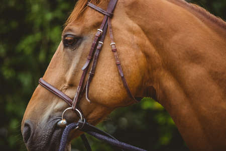 thorough: Side view of thorough breed horse in the countryside