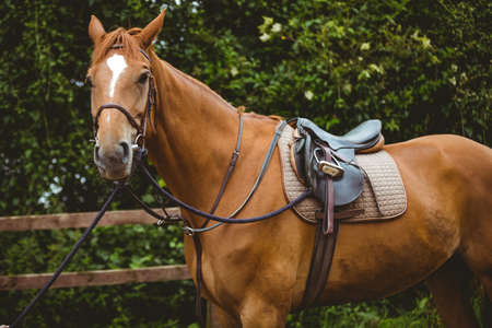 recreational pursuits: Thorough breed horse looking at camera in the countryside