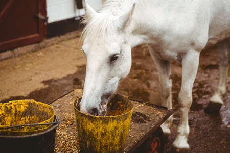 thorough: White horse eating in stable in the countryside