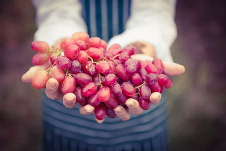 bunch up: Close up view of a winegrower presenting a bunch of grapes