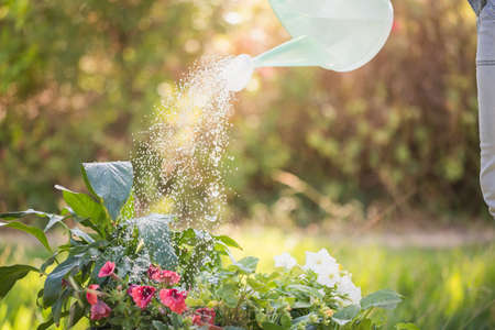 country living: Watering can pouring water over flowers on a sunny day LANG_EVOIMAGES