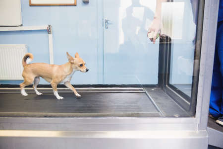 hydrotherapy: Dog running hydrotherapy treadmill in vets clinic