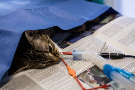 iv: Sick cat on a iv drip in clinic