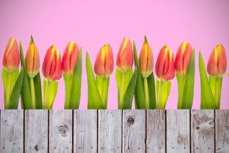 wooden planks: Tulip flowers against wooden planks