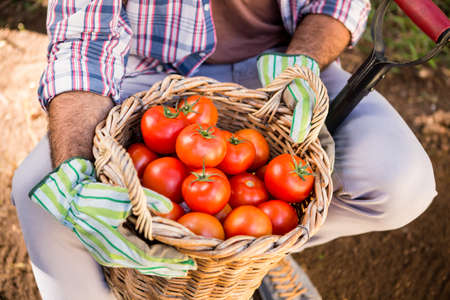 wicker work: Midsection of gardener holding fresh organic tomatoes in basket with shovel at vegetable garden